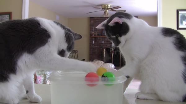 水に浮かべたボールで遊ぶ猫ちゃんズ♪ただし水にぬれた前足の毛繕いに夢中(笑)