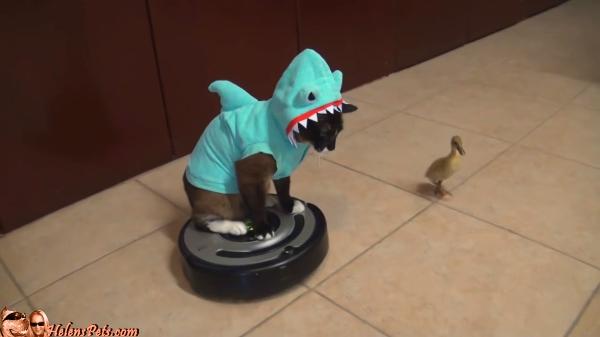 シュールすぎる動画wwwサメの着ぐるみを着た猫がルンバに乗ってアヒルと追いかけっこwww