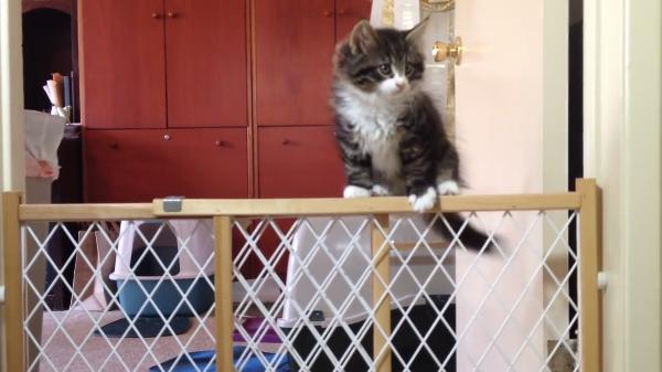 あれ~この柵飛び越えられるにゃ!少し成長した子猫ちゃんたちの大脱出作戦開始(笑)