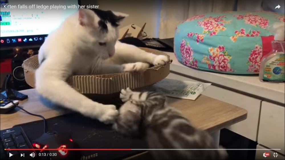 【落下注意報】戯れていたら悲劇が…、大人げない先輩猫ちゃんも少し反省気味?!!