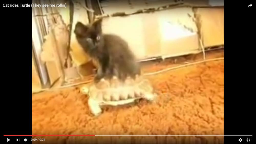 移動手段はカメさん!(笑)カメの背中に乗って移動する猫ちゃんの仙人オーラが最強すぎる…!!