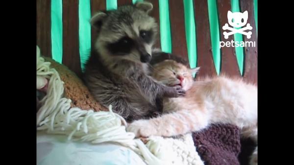 子猫の顔を洗うアライグマ!?「猫ちゃん起きて!」「うん……Zzz」寝続ける子猫ww