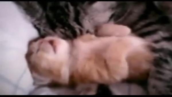 【親子愛♡】お口半開きで爆睡する子猫ちゃんをそっと抱きしめながら眠るお母さん猫…zzz