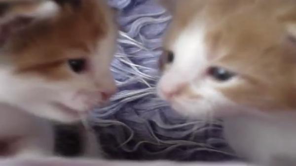 子猫ちゃんたちのこそこそ話♪顔を近づけてにゃーにゃーとおしゃべりする姿がたまらない♡