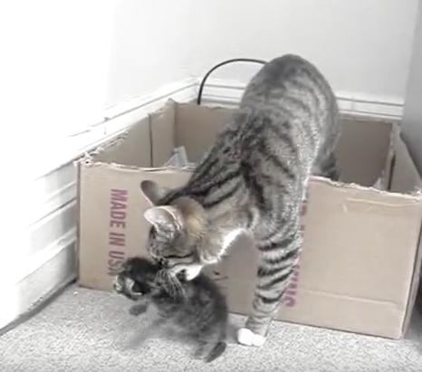 不器用なママ猫さんが懸命に子猫を持ち上げる!頑張れママ!!