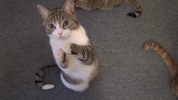 「ちょうだい♪ちょうだい♪」おやつ欲しさにおねだりポーズする猫ちゃん。そんな可愛い事されたらおやつあげちゃいますからーww