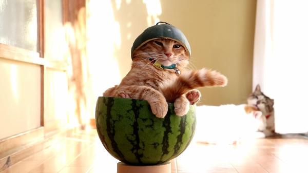 夏はスイカだよね〜。猫もいいよね〜。スイカ+猫でスイカになった猫ちゃんww