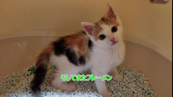 大人用猫トイレに興味津々な子猫!中に入ってみたらお口があんぐりが止まらないw