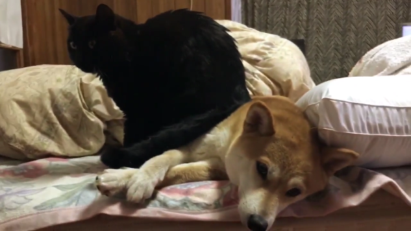 寝ぼけている猫ちゃんが「どっこいしょ」と座った上はイスではなくイヌだった…www