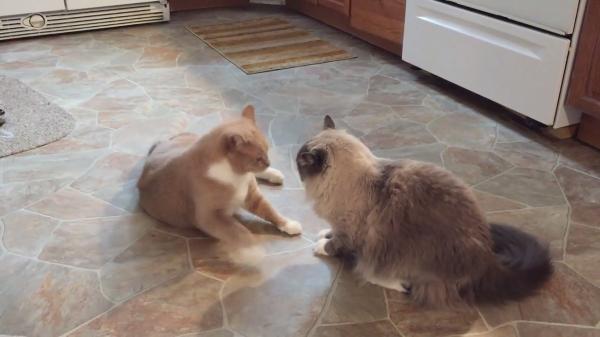 平和な喧嘩!!メンチを切る二匹の猫ちゃん…しかし大人な対応が素敵すぎる(笑)