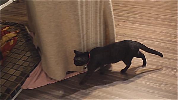 チンチラvs猫!!なんちゃってトムとジェリー?チンチラと一緒に暮らす猫ちゃんがビビりすぎ(笑)