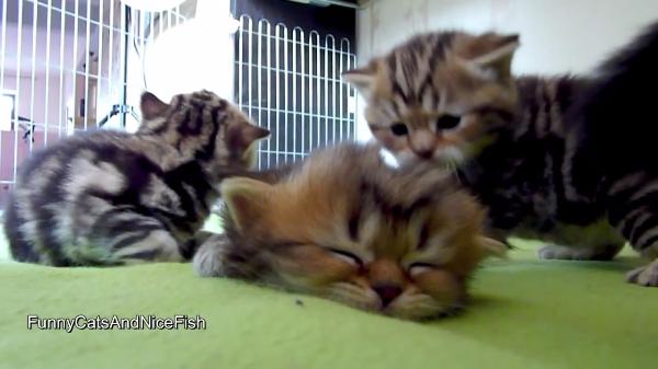 まわりのわちゃわちゃなんて聞こえない(笑)兄弟に踏まれても気にせず爆睡する子猫ちゃんが可愛すぎ!!