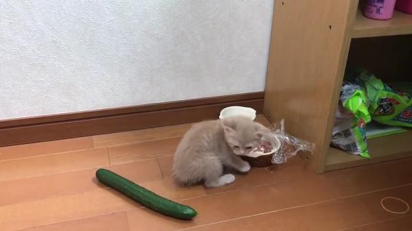 子猫にきゅうりドッキリはかかるのか!?ごはん中の子猫にきゅうりドッキリを仕掛けた結果!子猫最強ww
