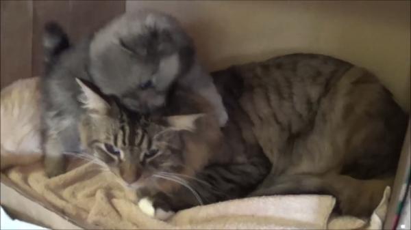 生後5週間のポメラニアンの面倒を見る猫ちゃん!まるでお母さんのような包容力が素敵!