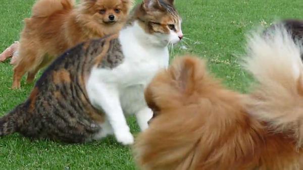 もっふもふのポメラニアンたちと一匹の猫ちゃん!大量のワンちゃんと楽しそうに遊ぶ猫ちゃん♪