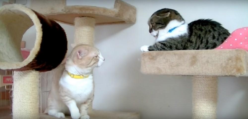 短足マンチカン同士の猫パンチ!届かない?キャットタワーで繰り広げられる激しい場所取りバトル!!