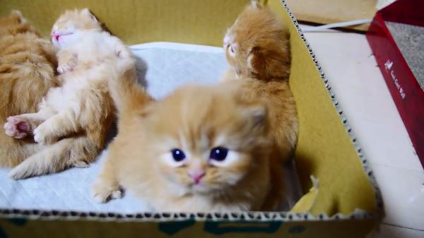「頑張れ!」必死で立ち上がろうとするマンチカンの子猫ちゃんの姿に胸キュン♡