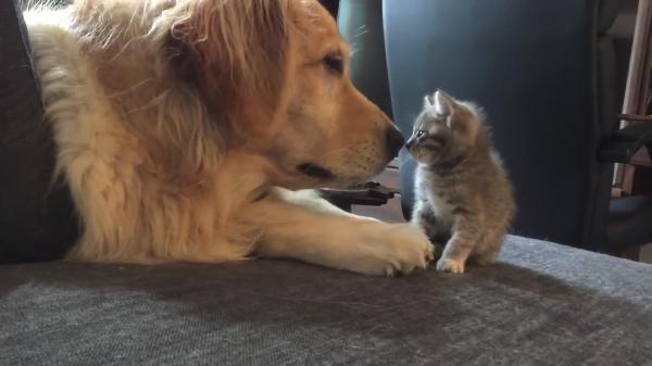 ワンちゃんに恐る恐る近づいて行く新入り子猫が可愛すぎる♪