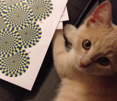 「グルグル回るにゃ〜◎」動いている様に見える錯覚画像を猫ちゃんにも見せてみた結果!!