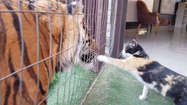 フェンスの向こうには…トラ!?フェンス越しの猫パンチにヒヤヒヤ…!!