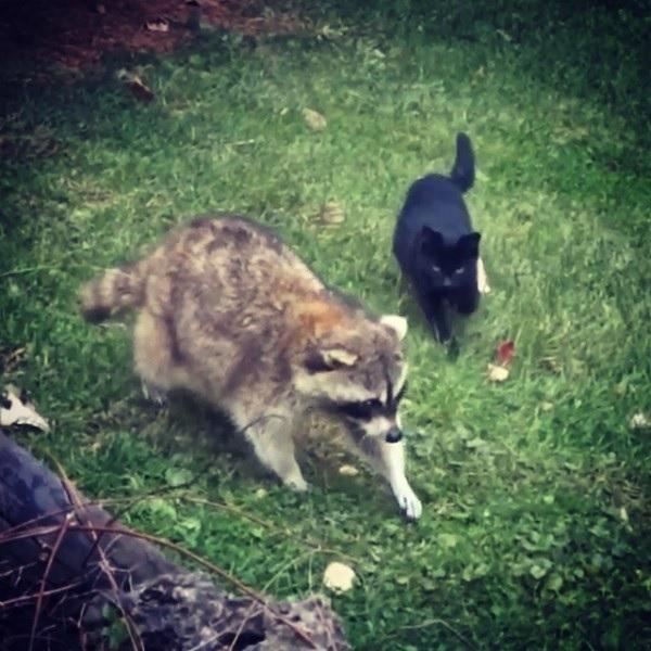 裏庭で盲目のアライグマと黒子猫にごはんをあげていたら数年後、黒猫たちは悲しみから救ってくれる天使になった!