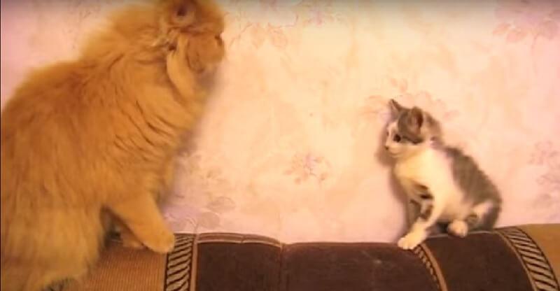 先輩猫に正面から立ち向かって負けた子猫ちゃん♡今度は作戦変更したけど…笑った!