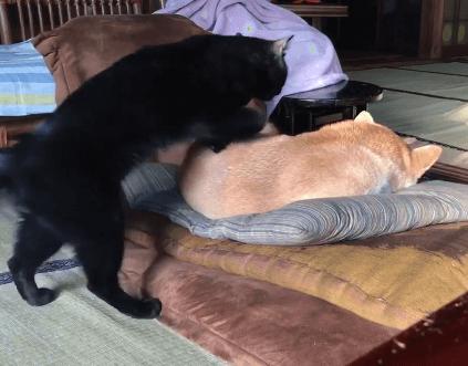 猫あるある!!わざわざ寝ている柴犬を踏んづけて行く猫ちゃんww猫ってなんで踏んづけて行くの??