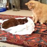 相棒の猫ちゃんが亡くなった事をもう1匹の猫ちゃんに伝える為にリビングに置いてみると…もう1匹の猫ちゃんの亡くなった相棒への行動に号泣です