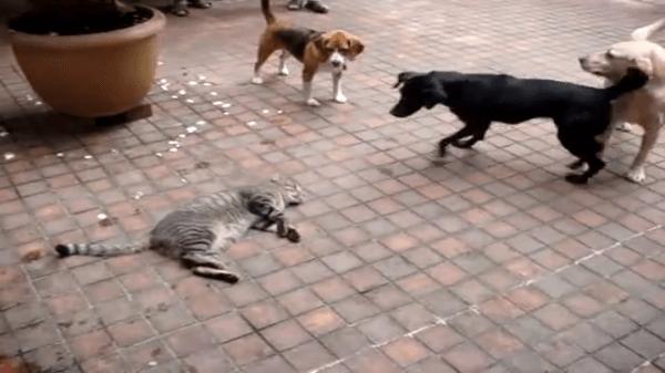 ハラハラ!どきどき!!ワンちゃん達が走り回るど真ん中でごろ〜んと寝転がってくつろぐ猫ちゃん。踏まれないかドキドキです!!
