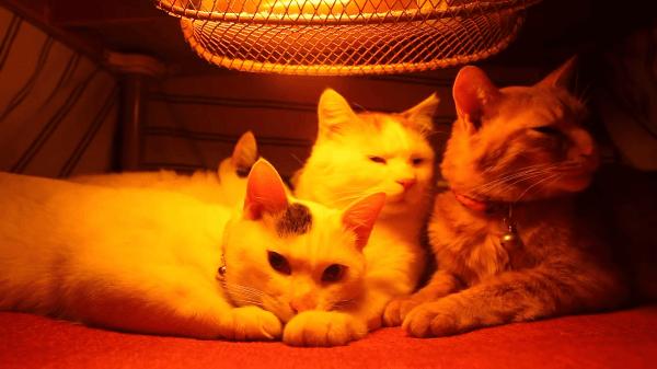 猫ちゃん達の冬場のオアシス「こたつ」!!5匹の猫ちゃんが集うねこたつの中を覗いてみました♪