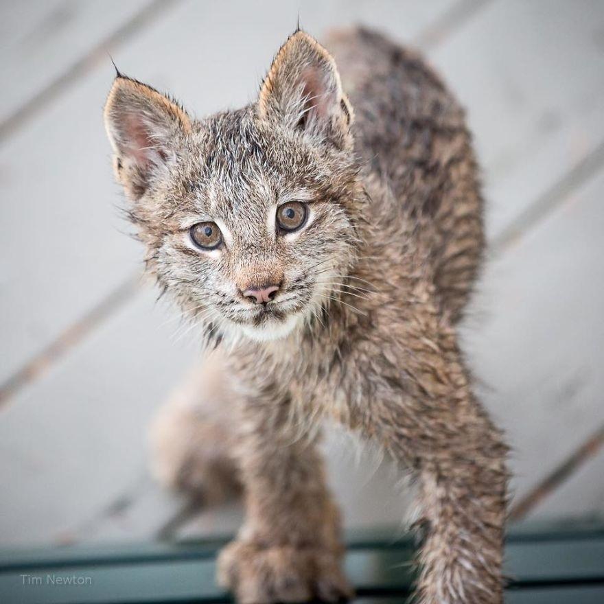 朝起きたらデッキで何やら物音が。そ~っとのぞいてみると子猫がいっぱい?!なんとカナダオオヤマネコの大家族だった…