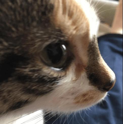 先天的に心臓疾患を抱え、生後間もないころから何度も命の危機を乗り越えた子猫。子猫を支えた家族の1年。