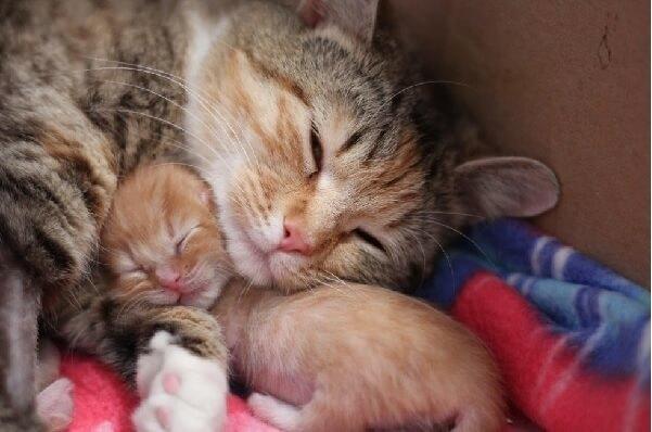 保護主さんに助けてもらい緊急手術で子猫を出産した猫さん。苦しみの末、やっと出会えた我が子が愛おしくてたまらない…