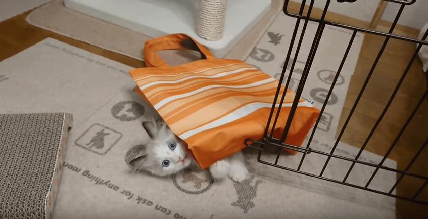 「大好きだにゃぁ…♡」バッグに夢中になる子猫が可愛いっ♡