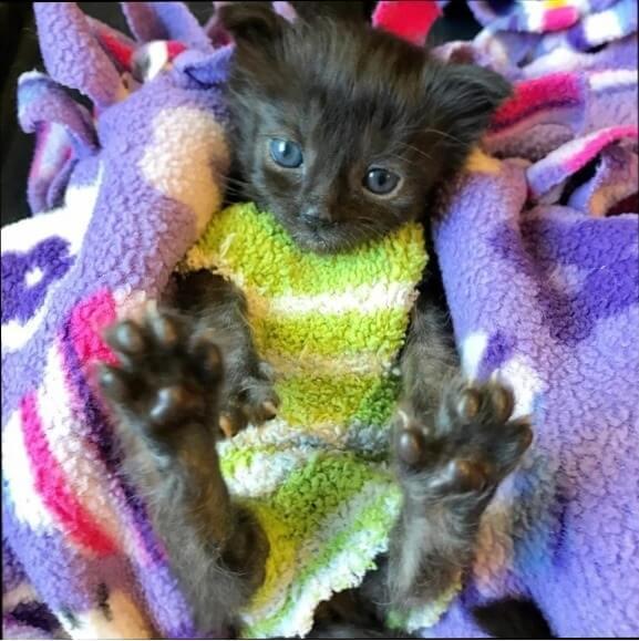 母猫に育児放棄され生後2週間しても取れないへその緒の悪化に苦しむ子猫を救ったのは心優しい女性のお手製のセーターだった♪