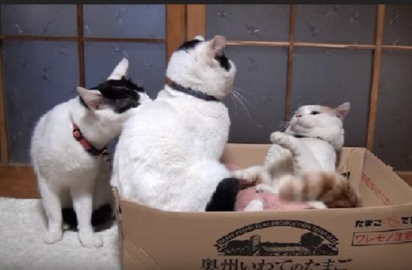 「ケンカしちゃダメ!」兄弟猫同士のケンカをとめようとする妹猫ちゃん♪その健気さにとっても癒される♡