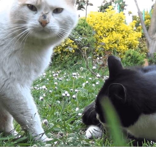 そろそろ大人の仲間入りかと思っていたうちの猫に春が来た・・・近所の猫と恋をして彼女は毎日会いに来る