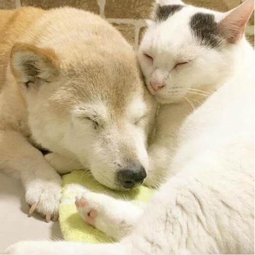 認知症になったワンちゃんを必死で介護する猫。ワンちゃんを守るため片時も離れようとしない猫の心温まるお話…