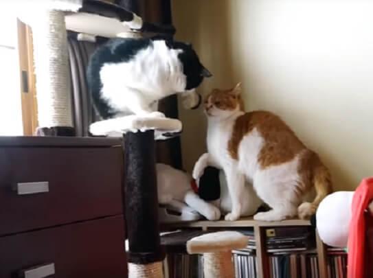 何故かイケメン猫同士の戦いが勃発!男同士のケンカを止めに入る美猫ちゃんの圧倒的な強さに…あんぐり(笑)
