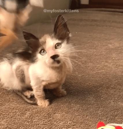 重度の感染症で被毛の殆どを失ったやせっぽちの子猫『いつかあなたはフワフワの毛を風になびかせるわ』