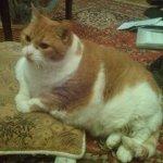 驚くほどの肥満状態で保護されたシニア猫。心身ともに壊れていたところ2年かけての奇跡のダイエットで変身を遂げる!
