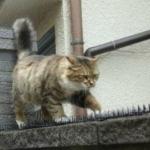猫よけのトゲトゲをものともせず、まっすぐに前を見詰めてブロック塀の上を前進する猫さん