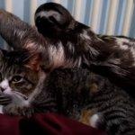 「にゃんだ!コイツ…く、苦しいにゃ」ナマケモノの激しいラブ攻撃に必死で耐える猫。「どうすればいいにゃ?」このあと猫はどうなる?