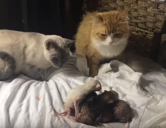 ふたりの愛の結晶…とっても可愛い生まれたばかりの子猫たち。パパ猫とママ猫が幸せそうに見つめる姿にほっこり♡
