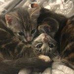 母猫に置いてきぼりにされた猫3兄弟。保護されてからも毎日抱き合い片時も離れないほど強い絆で結ばれていた…