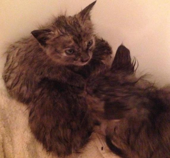 激しい嵐の中、動けなくなり溺れる寸前の3匹の子猫。心優しい男性の愛情が子猫たちと一緒に逃げた母猫も救う!