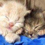 母猫を探して鳴き続けていた生後2週齢の子猫たち。保護されて出会った犬の愛に包まれ落ち着きを取り戻す…