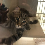シェルターで出会いの場にデビューした日、ボランティア初日のカップルに猛アピールして夢を叶えた子猫