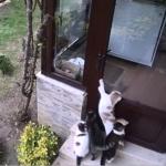 父に朝食をもらうために庭で暮らす7匹の猫たちが待っている。防犯カメラが捉えた愛すべき彼らの朝の日課
