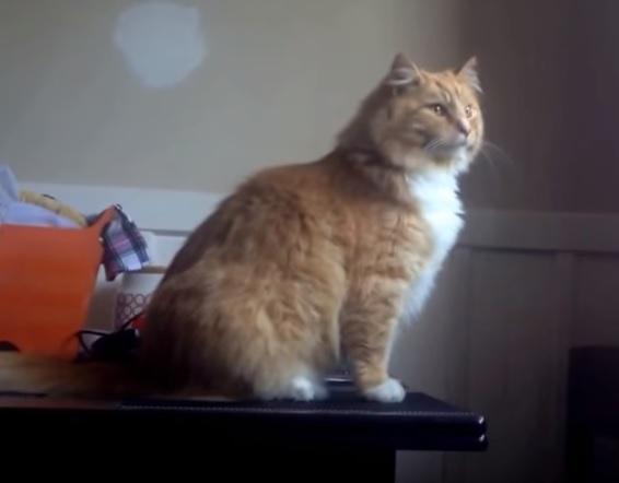 定番のハプニング?!とっても優雅な猫さん、いつものように余裕のジャンプ力で窓に飛んだつもりが…なんてこったぁ!